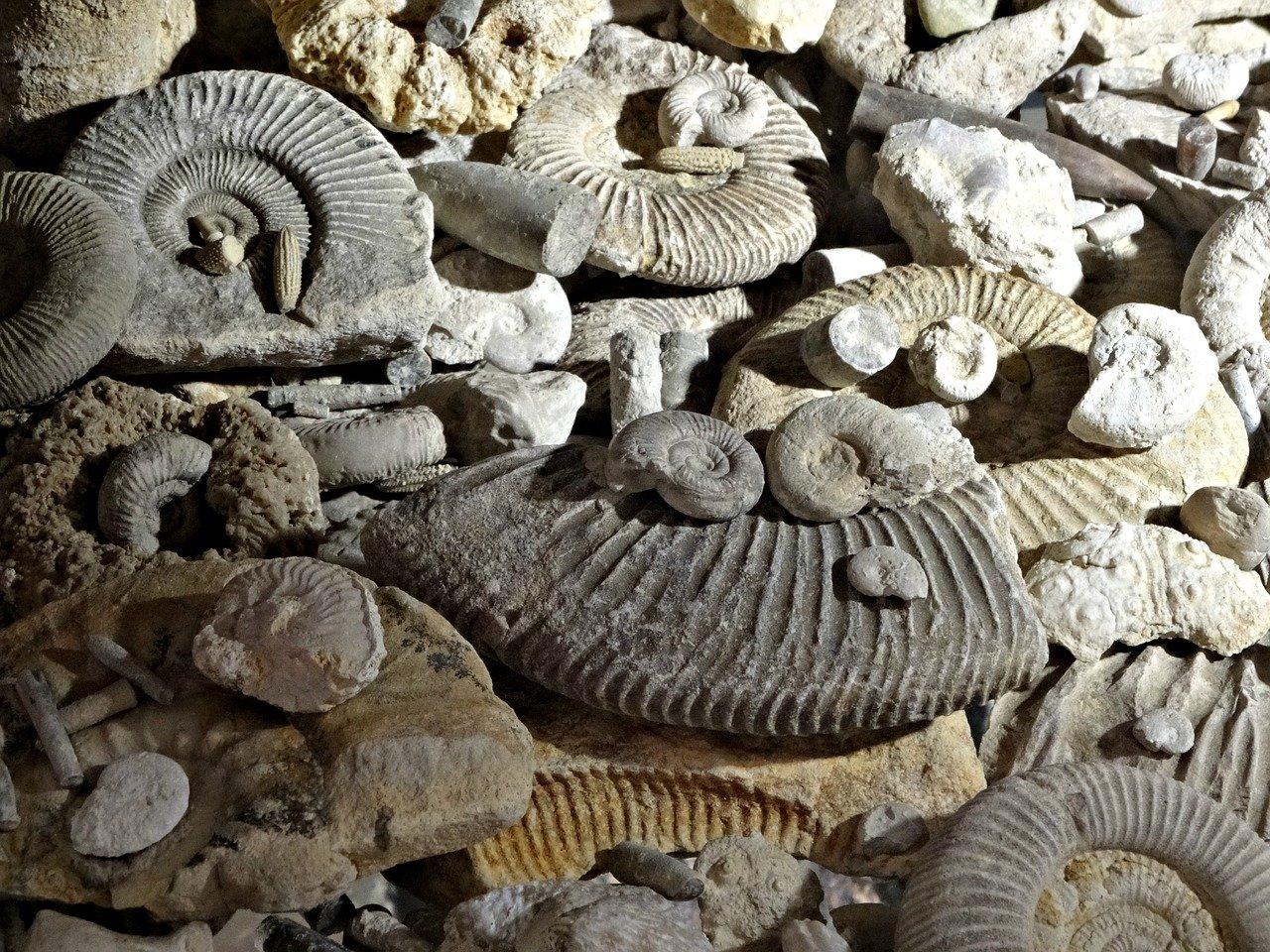 L2 - TP de paléontologie des invertébrés